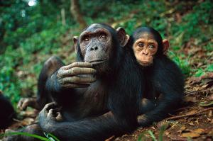 chimpanzee-adult-female-orphan-baby