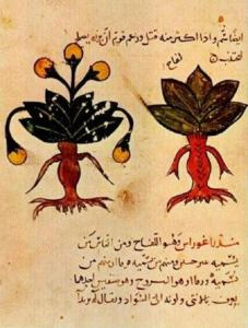 Mandrake plant. Arabic medical manuscript
